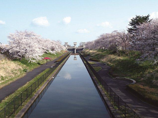 桜遊歩道公園の桜