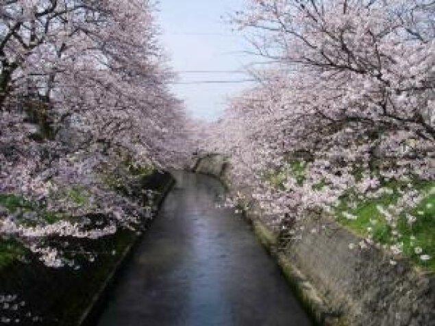 【桜・見ごろ】岸渡川堤