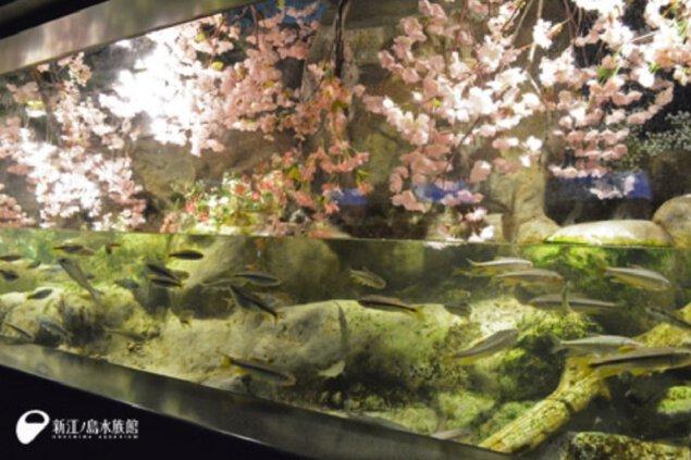 桜満開のジャンプ水槽
