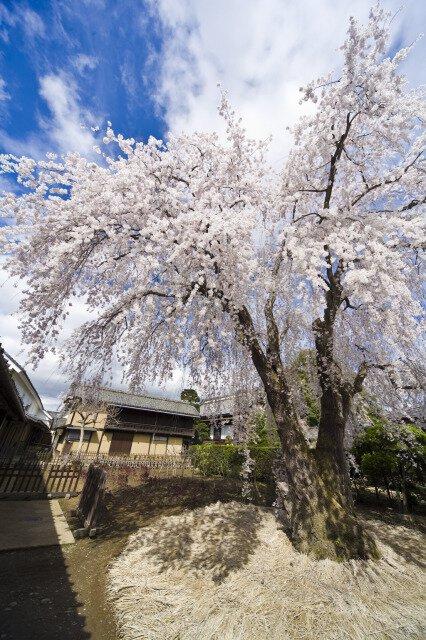 江戸時代の桜が薫る庭園 豪商の館 田中本家博物館