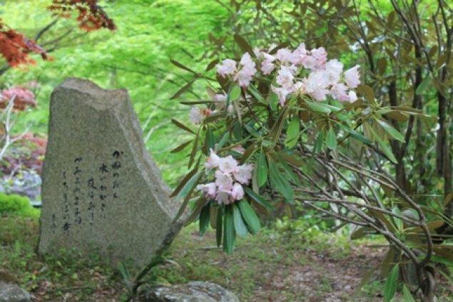 【花・見ごろ】波瀬泰運寺のシャクナゲ