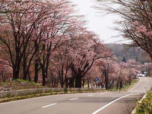 【桜・見ごろ】登別温泉 桜のトンネル