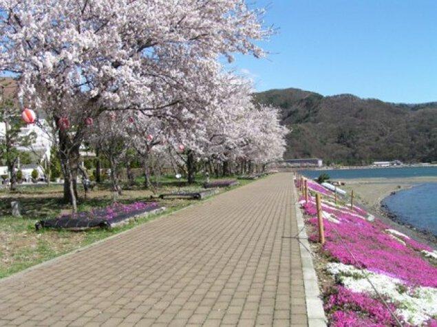 【桜・見ごろ】河口湖