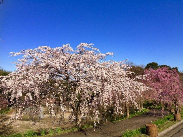 【桜・見ごろ】伯耆しあわせの郷