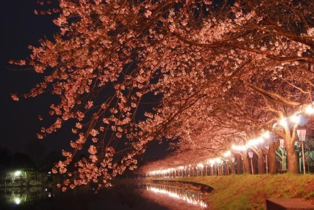 鷹巣中央公園 桜まつり