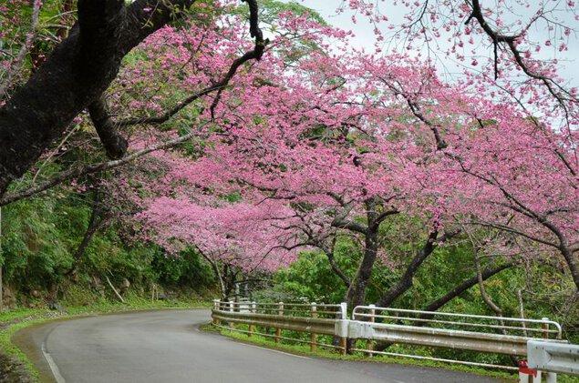 第41回本部八重岳桜まつり
