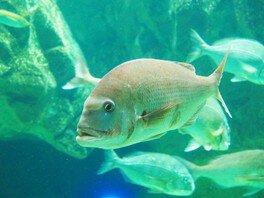 お正月特別水槽展示 「おめでたい」マダイに「あやかりたい」魚たち