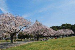 稲荷公園の桜