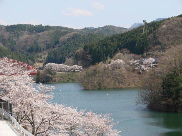 【桜・見ごろ】青蓮寺湖周辺