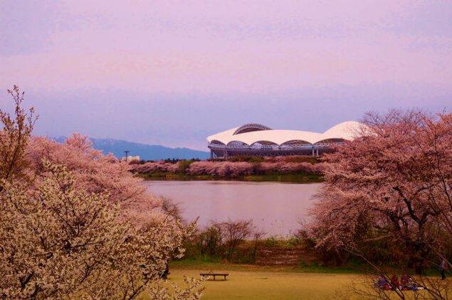 【桜・見ごろ】鳥屋野潟公園(女池地区)