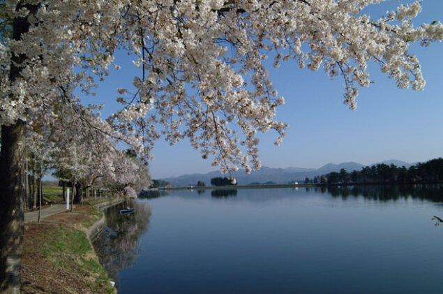 【桜・見ごろ】徳良湖周辺