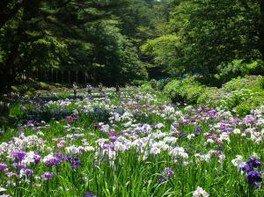 【花・見ごろ】修善寺虹の郷 花しょうぶ園