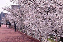 第二寝屋川沿いの桜