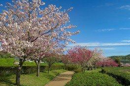 やなせ苑桜づつみの桜