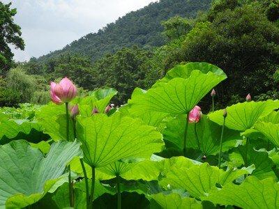 【花・見ごろ】栗林公園のハス