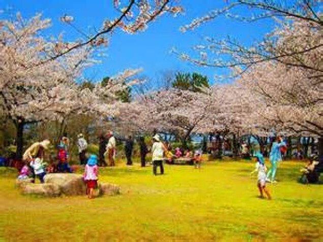 【桜・見ごろ】県立鳥屋野潟公園・鐘木地区 ソメイヨシノ
