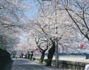 【桜・見ごろ】岐阜公園・長良川堤 鵜飼桜