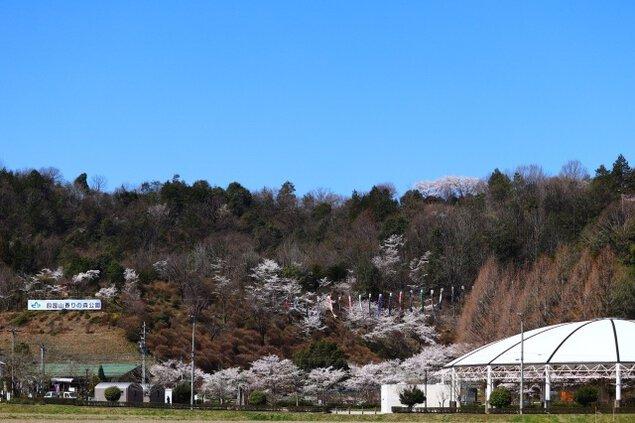 【桜・見ごろ】四国山香りの森公園