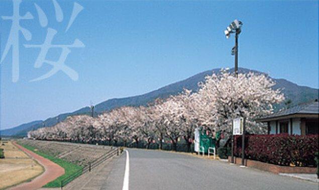 【桜・見ごろ】レインボーパーク南条