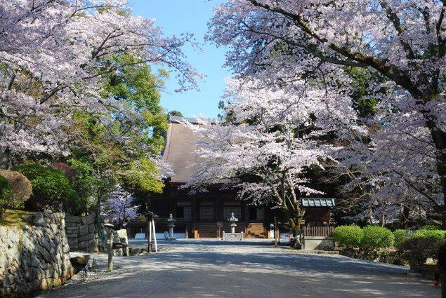 三井寺(園城寺)の桜