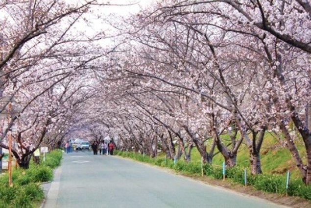 【桜・見ごろ】徳島県農業大学校