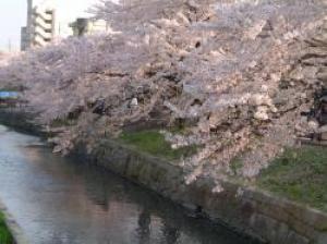 【桜・見ごろ】清水川