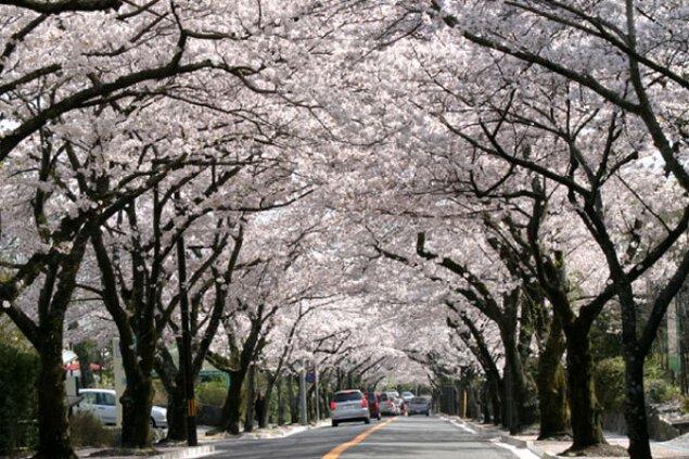 【桜・見ごろ】伊豆高原桜並木