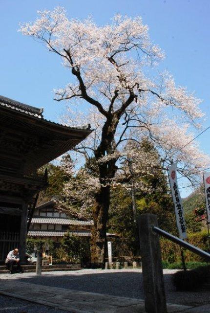 【桜・見ごろ】甘南美寺の江戸彼岸桜