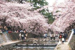 夙川河川敷緑地(夙川公園)の桜