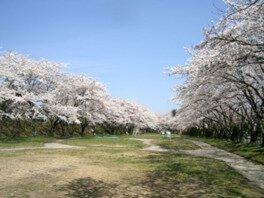 宮川緑地公園の桜