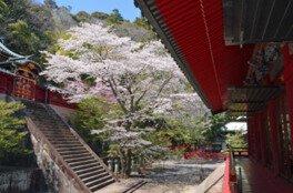 静岡浅間神社の桜