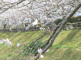 串間市総合運動公園の桜