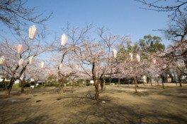 亀山公園の桜(大分県)