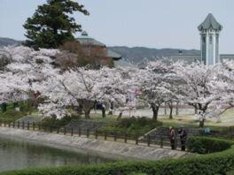 観月台公園の桜