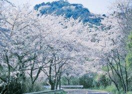 四王寺林道・岩屋城跡の桜