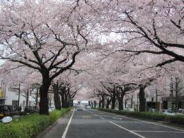 平和通りの桜