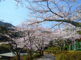 三島公園の桜