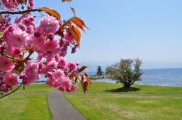 洞爺湖温泉の桜