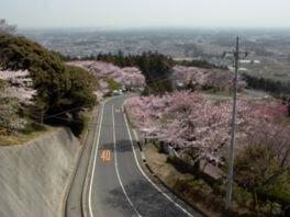 【駐車場封鎖】愛宕山(中腹)の桜
