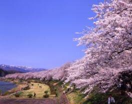 【駐車場閉鎖】桧木内川堤の桜