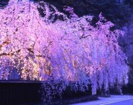 【駐車場閉鎖】武家屋敷通りの桜