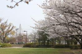 沼辺公園の桜