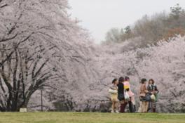 県営狭山稲荷山公園の桜