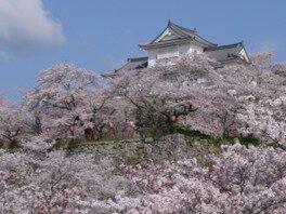 津山城(鶴山公園)の桜