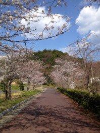 柳井ウェルネスパークの桜