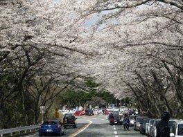アネスト岩田 ターンパイク箱根 御所の入駐車場付近の桜