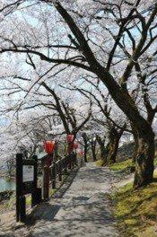 庄川水記念公園の桜