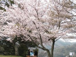 城山公園の桜(島根県)