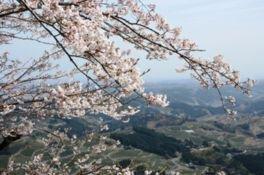 粟ヶ岳の桜