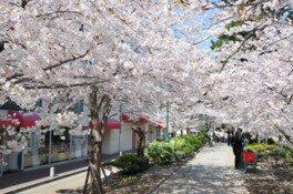 花のみち(宝塚)の桜